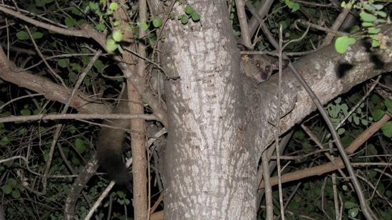 Bushbaby