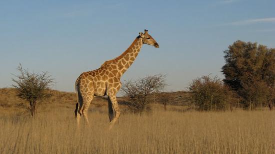 Girafe au soleil couchant