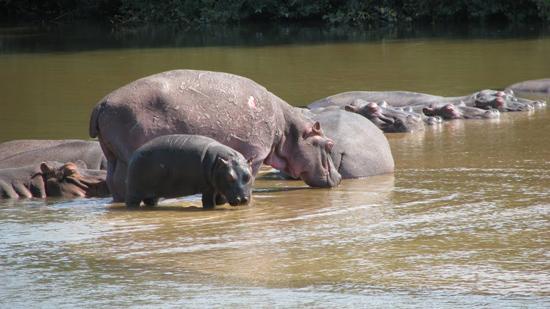 Bébé et Maman Hippos !