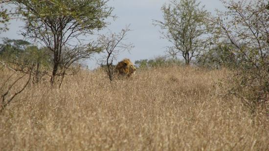 Lion dans les herbes