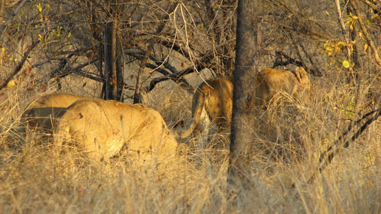 Lionnes qui partent en chasse