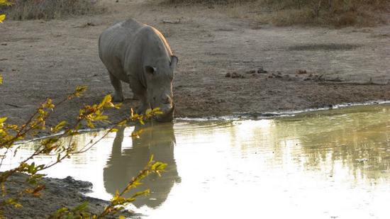 Rhino qui boit
