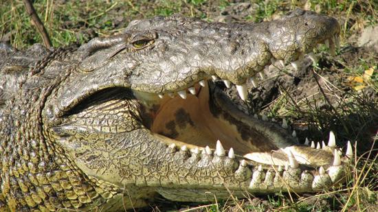 Crocodile avec une belle gueule