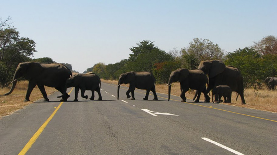 Eléphants qui traversent la route