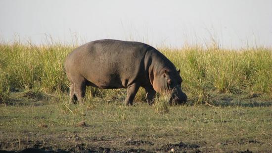 Hippo qui mange