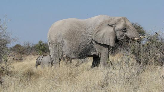 Bébé éléphant tout petit
