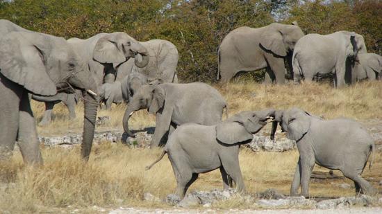 Dizaine et dizaines d'éléphants