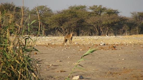 Hyène matinale