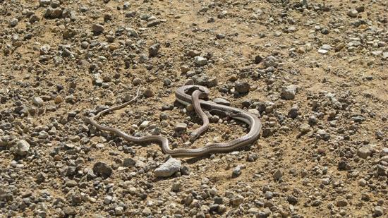 Serpent écrasé