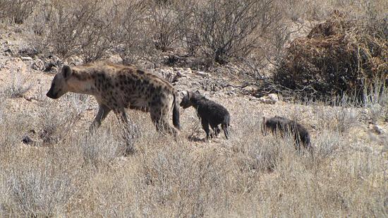 Maman hyène et ses petits